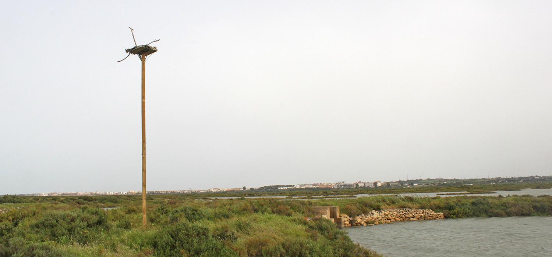 La salina Esperanza acoge nuevos nidos para la recuperación del águila Pescadora en la Bahía de Cádiz